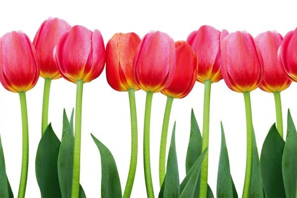 Vliestapete Tulpen 375x250