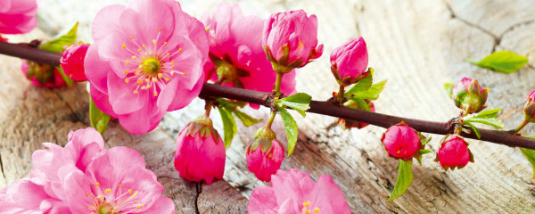 Panorama Vliestapete japanische Kirschblüte 375x150