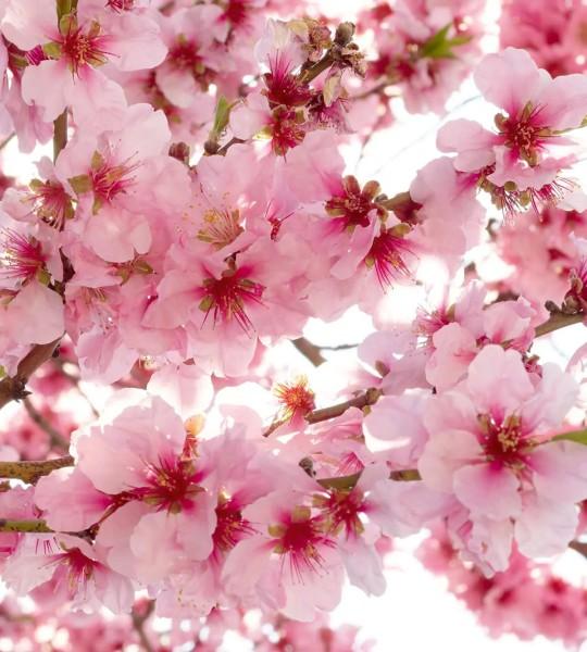 Vliestapete Apfelblüten 225x250