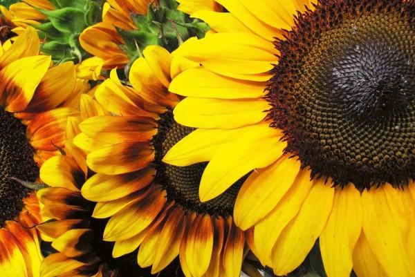 Vliestapete Sonnenblumenblüte 375x250