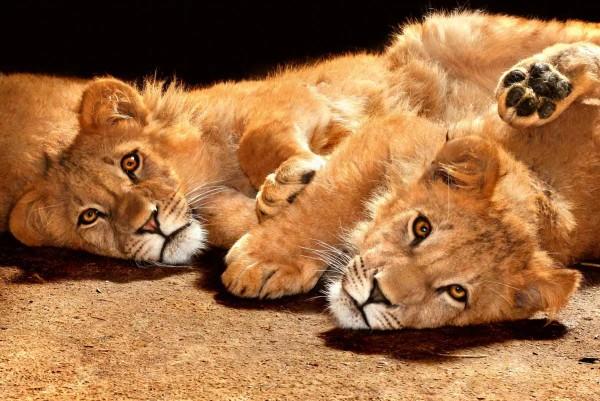 Vliestapete Löwen 375x250