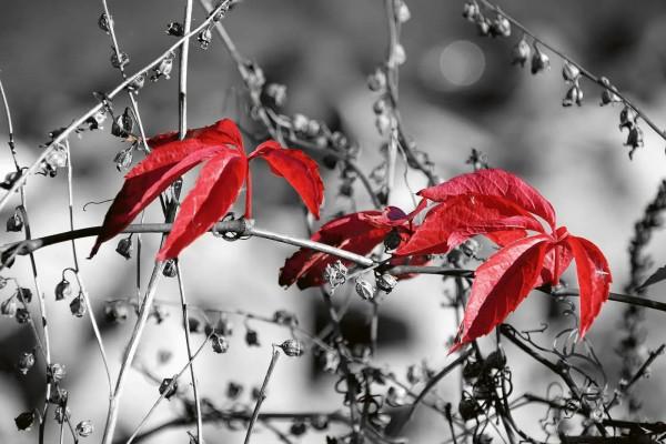Vliestapete rotes Blatt schwarz-weiß 375x250