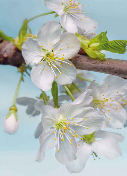 Vliestapete Fototapete Apfelblüte