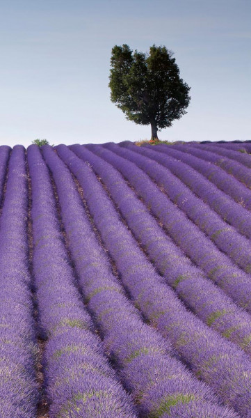 Vlies Fototapete Lavendel Feld 150x250