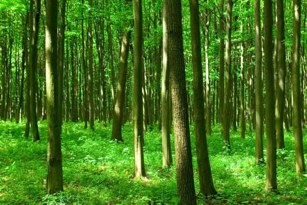 Fototapete grüner Wald