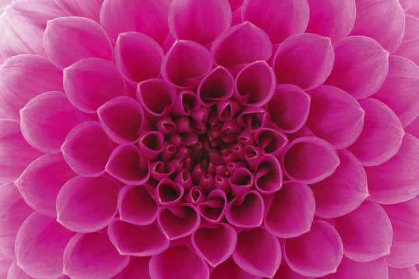 Vliestapete Pink Dahlie 375x250