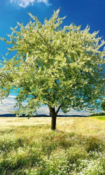 Vlies Fototapete blühender Baum 150x250