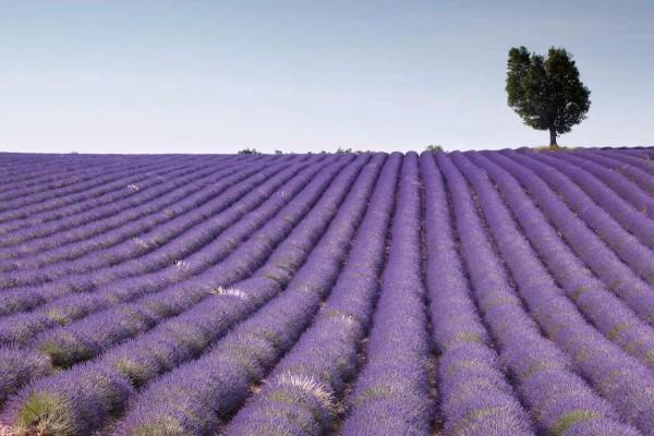 Vliestapete Lavendel Feld 375x250