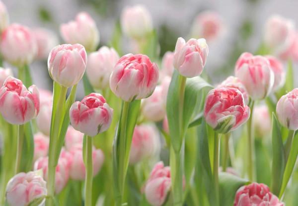 Fototapete Holland Tulpen