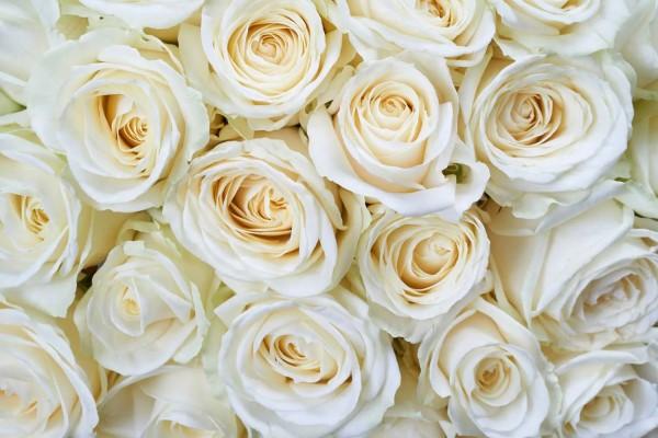 Vliestapete weiße Rosen 375x250