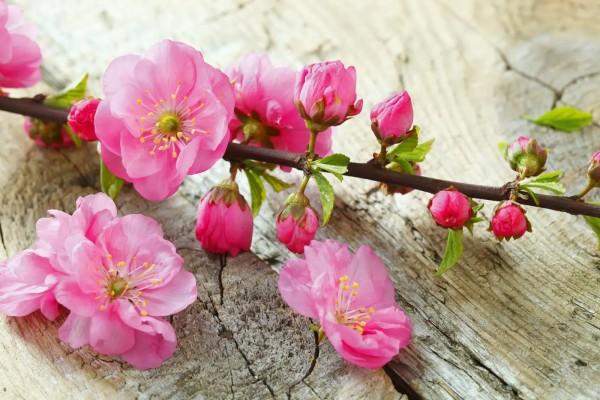 Vliestapete japanische Kirschblüte 375x250