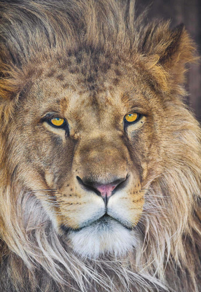 Fototapete Löwenmähne