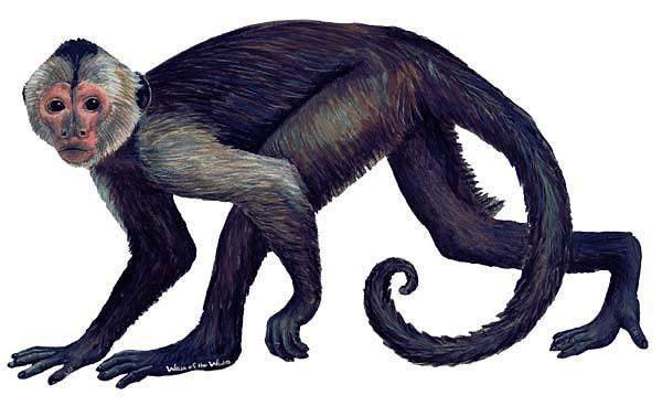 Wandsticker Affe Kapuzineräffchen