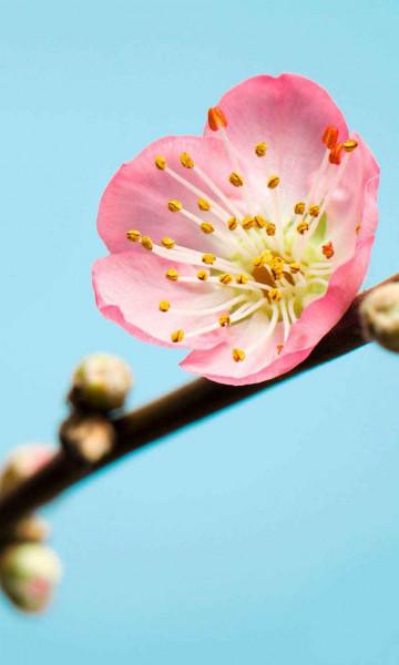 Vliestapete Fototapete zarte Pfirsichblüte