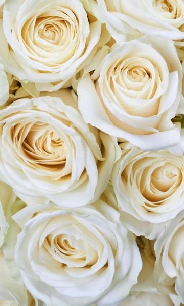 Vlies Fototapete weiße Rosen 150x250