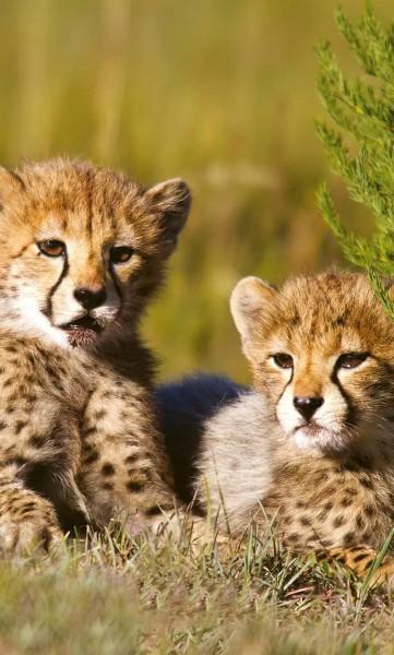 Vlies Fototapete Gepard Babys 150x250