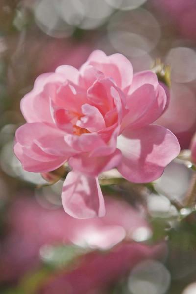 Fototapete rosa Rosen