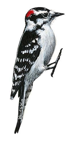 Wandsticker Buntspecht Vogel