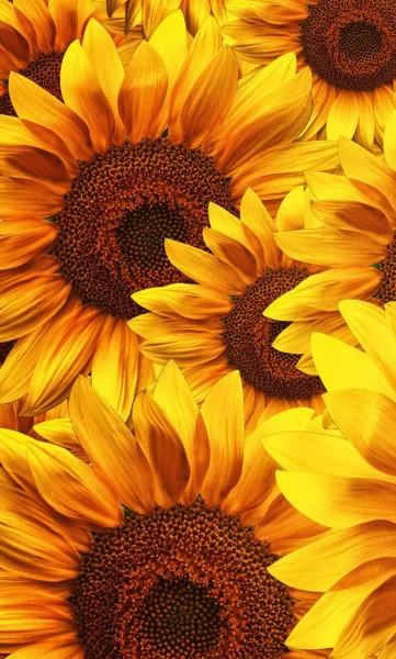 Vlies Fototapete Sonnenblumen 150x250