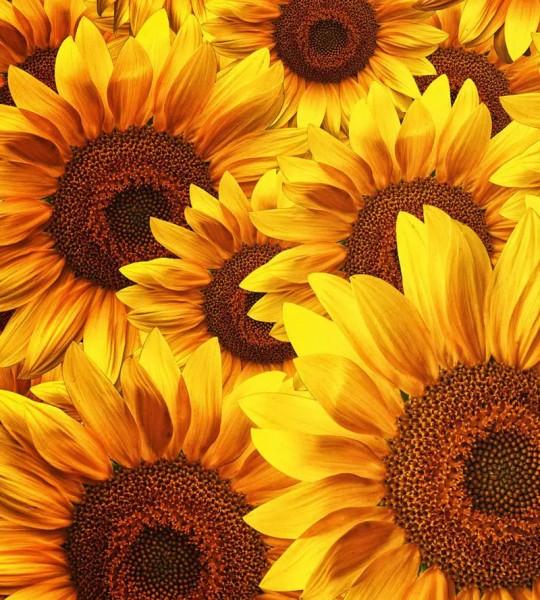Vliestapete Sonnenblumen 225x250