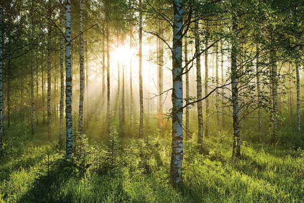 Fototapete Waldspaziergang Birkenwald