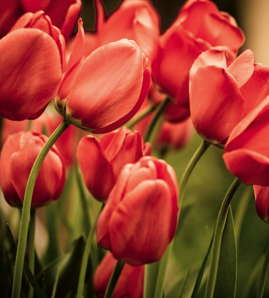 Vliestapete rote Tulpen 225x250